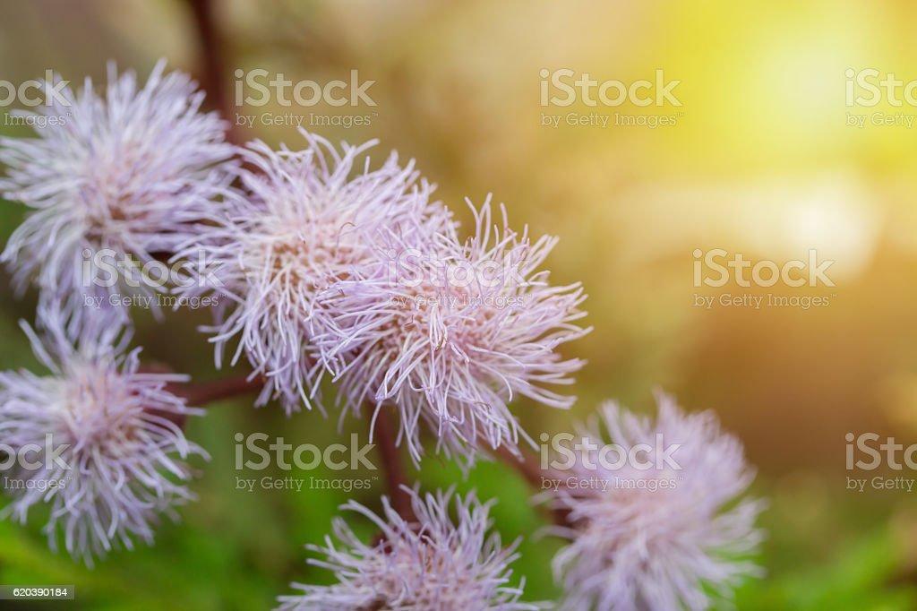Eupatorium sordidum flower blooming in  garden. stock photo