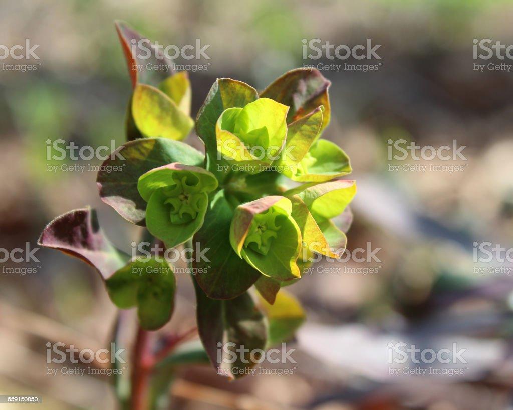 Euphorbia amygdaloides purpurea stock photo