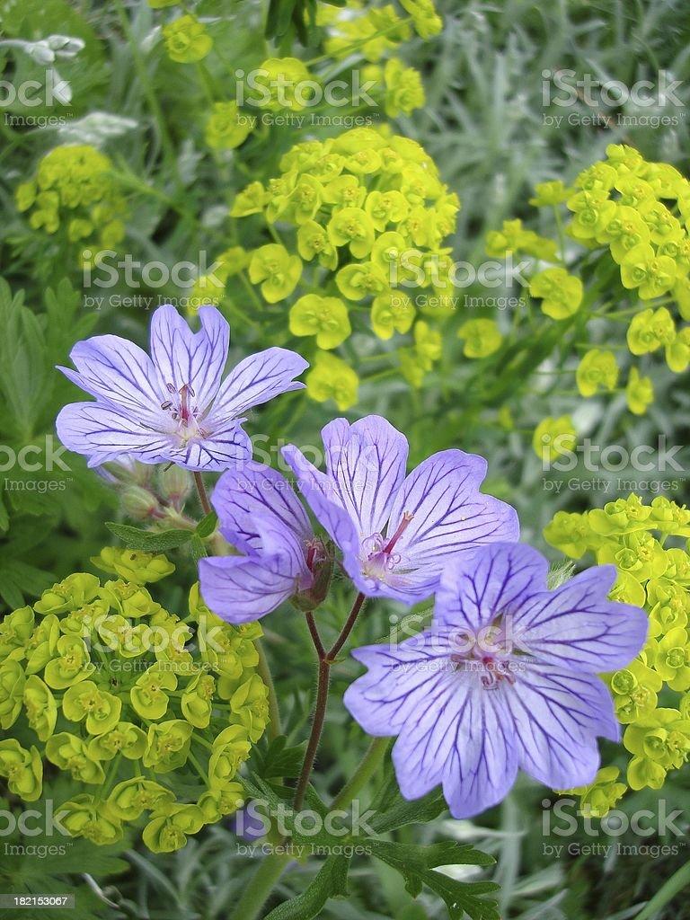 Euphorbia and Geranium royalty-free stock photo