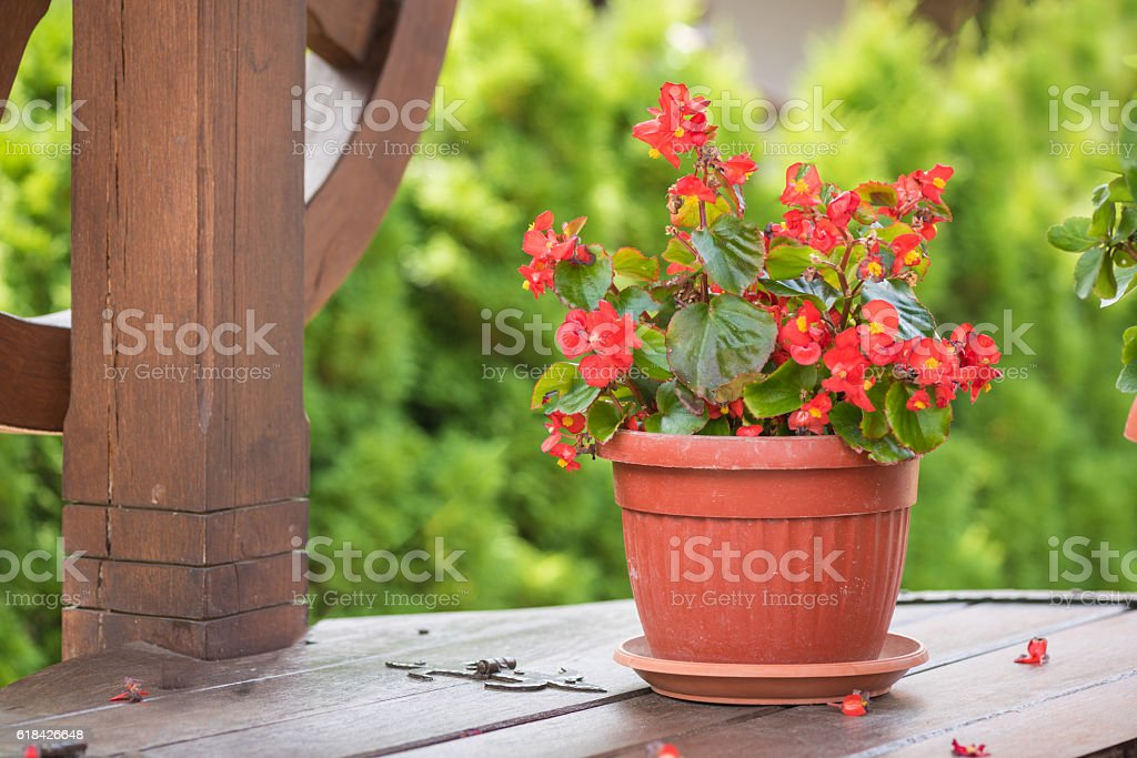 Euphorbia. Christmas flower Euphorbia milii (crown of thorns) in flower pot. stock photo