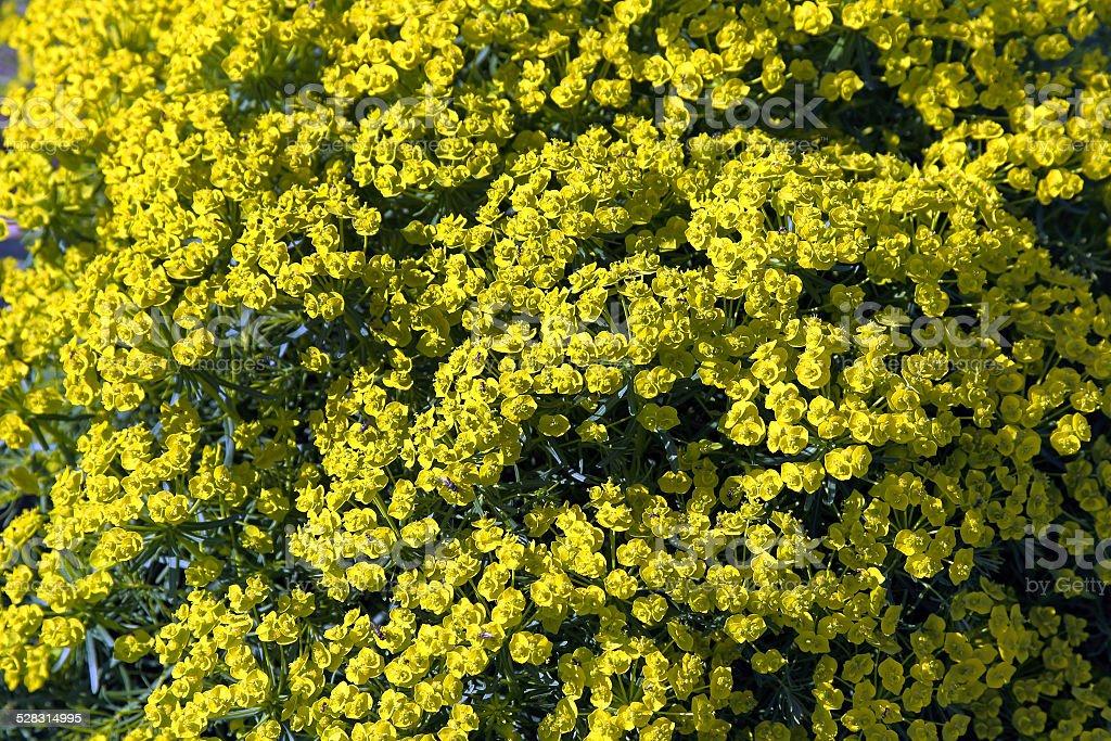 Euphorbia cyparissias stock photo