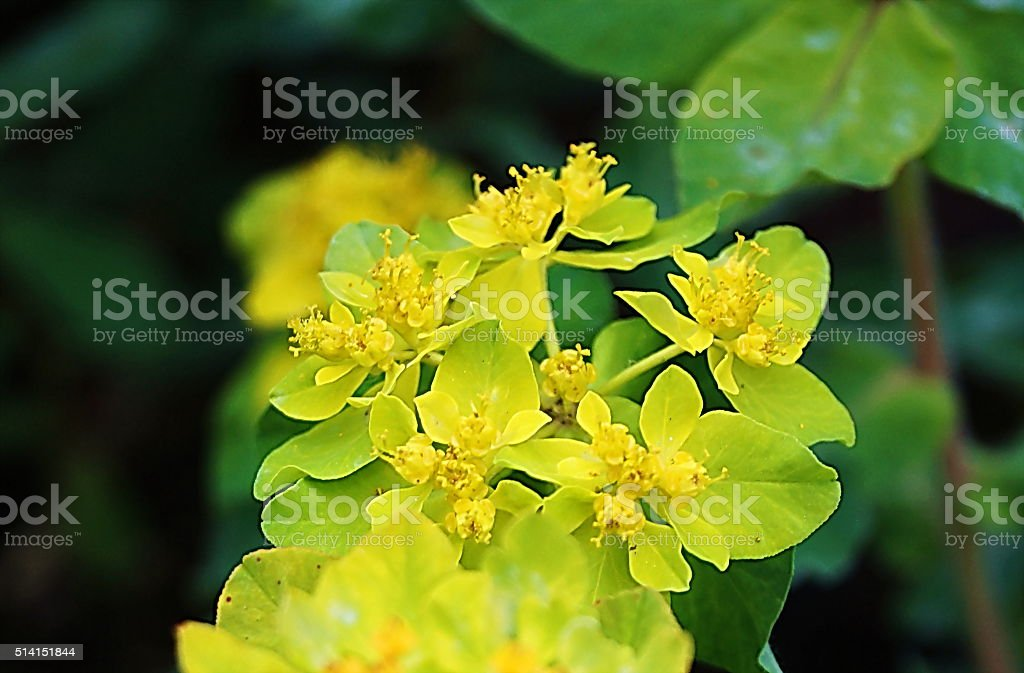 Euphorbia dulcis stock photo