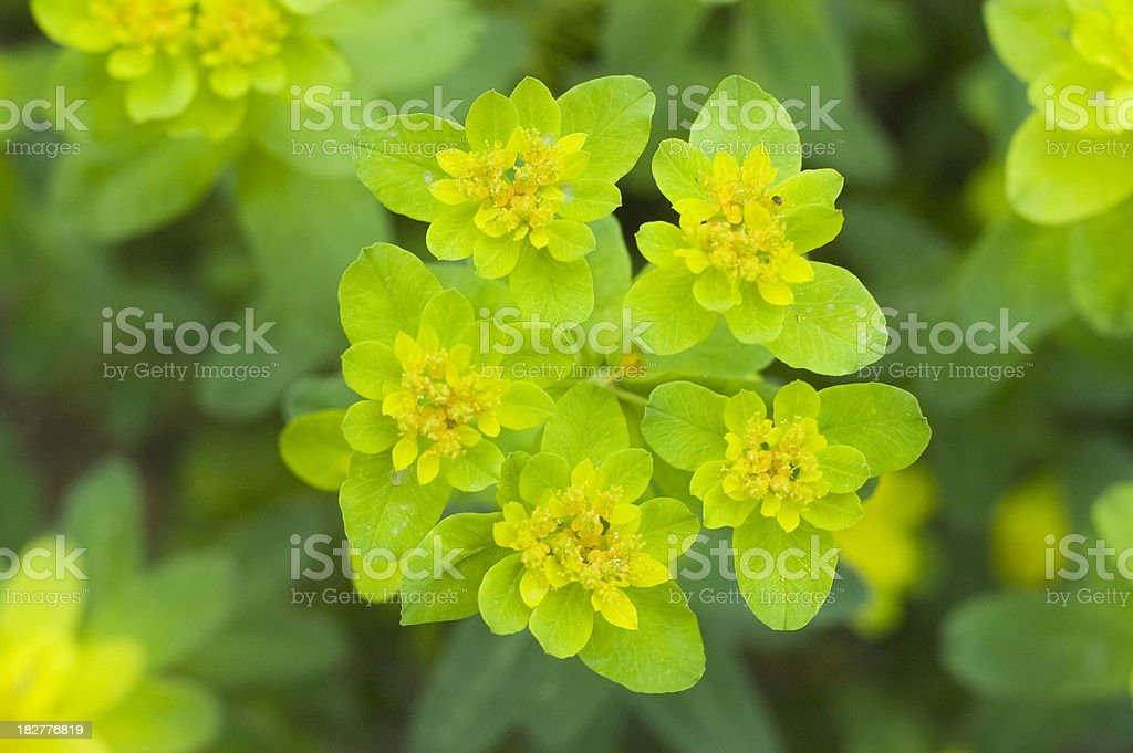 Euphorbia in Spring stock photo