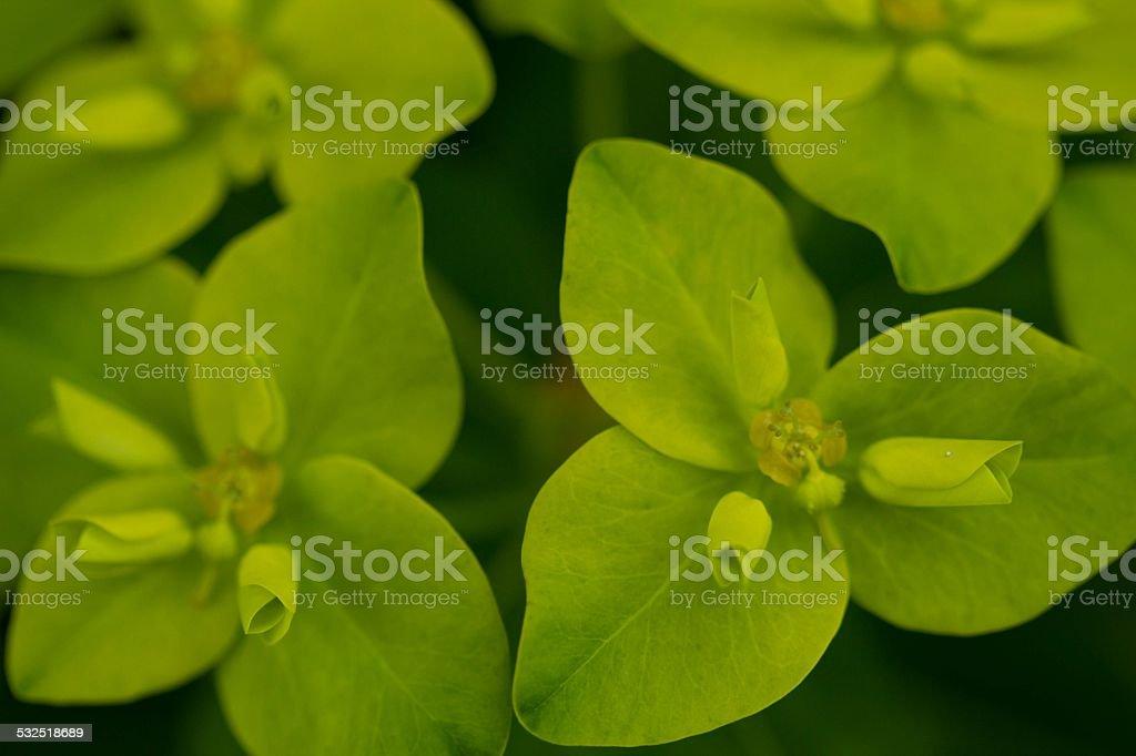 Euphorbia leaves stock photo
