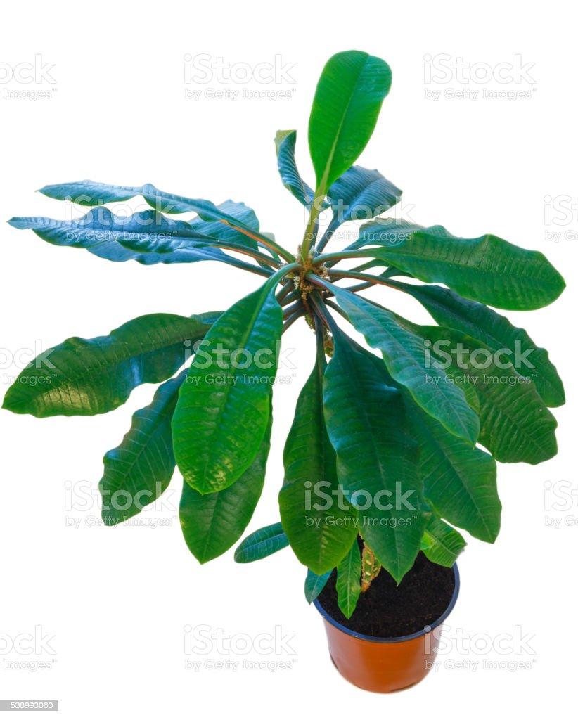 Euphorbia leuconeura plant. stock photo