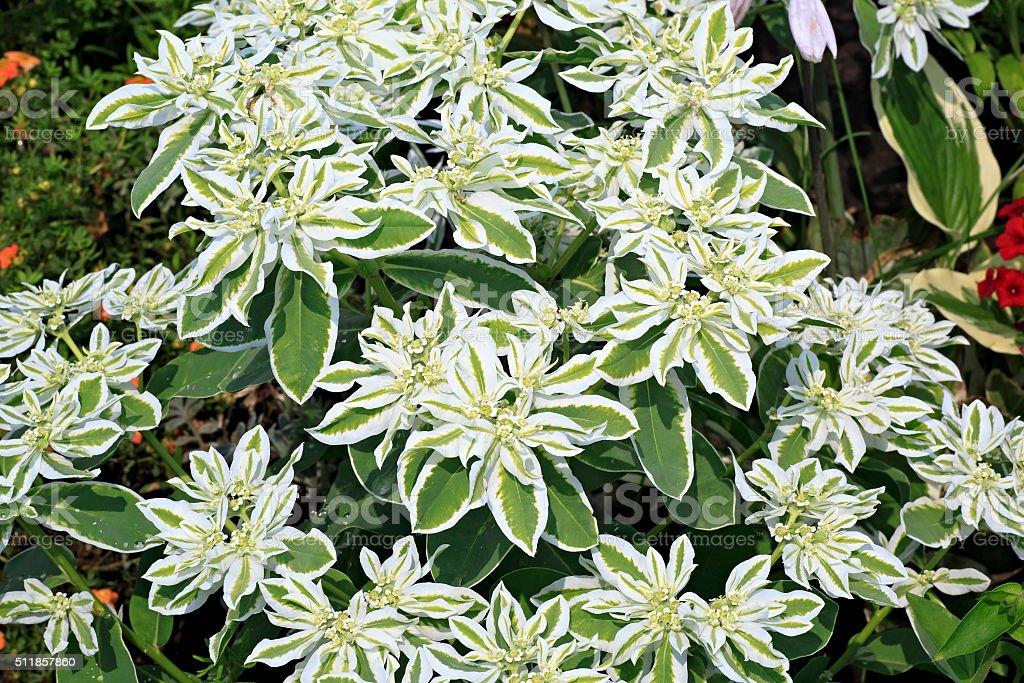Euphorbia marginata or whitemargined spurge stock photo
