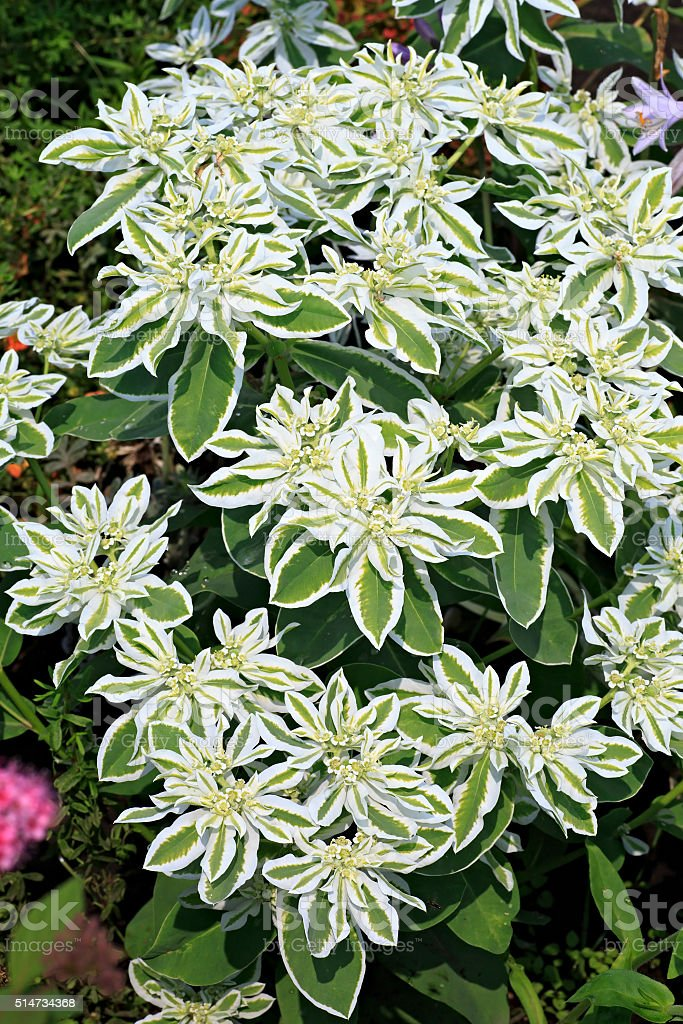 Euphorbia marginata or whitemargined spurge stock photo