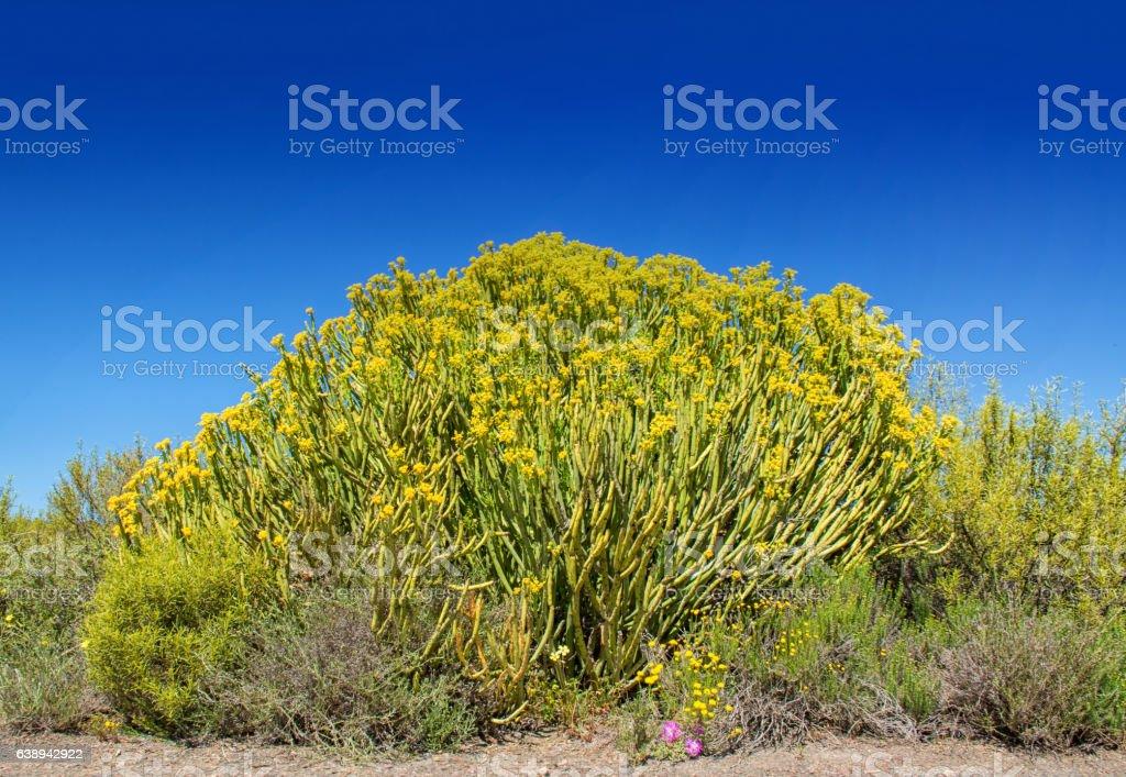 Euphorbia mauritanica stock photo