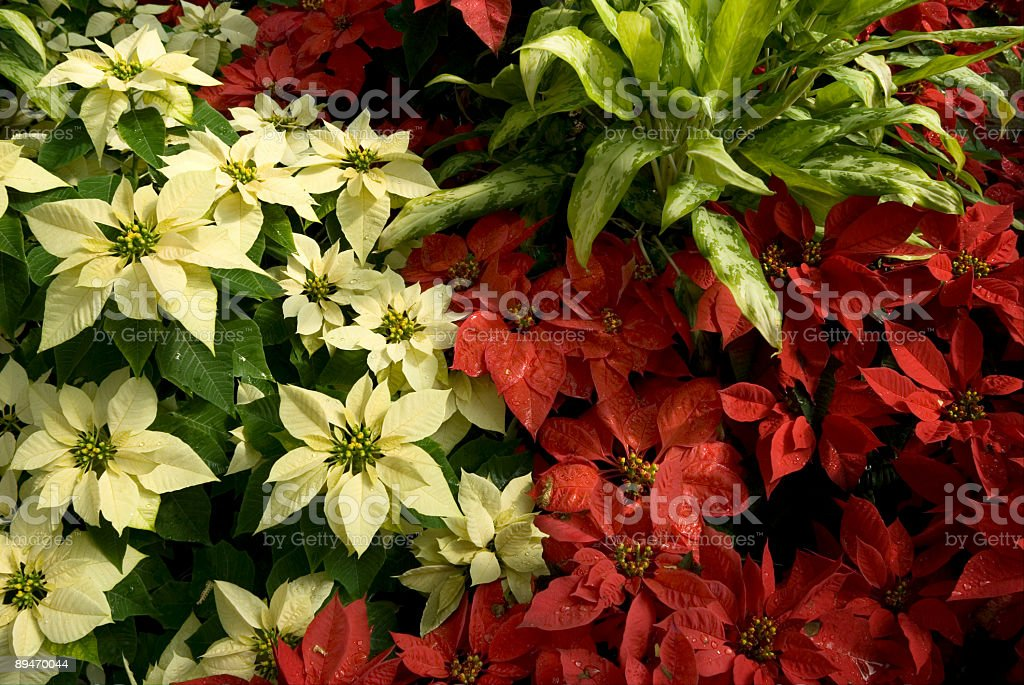 Euphorbia pulcherrima Poinsettia flower stock photo