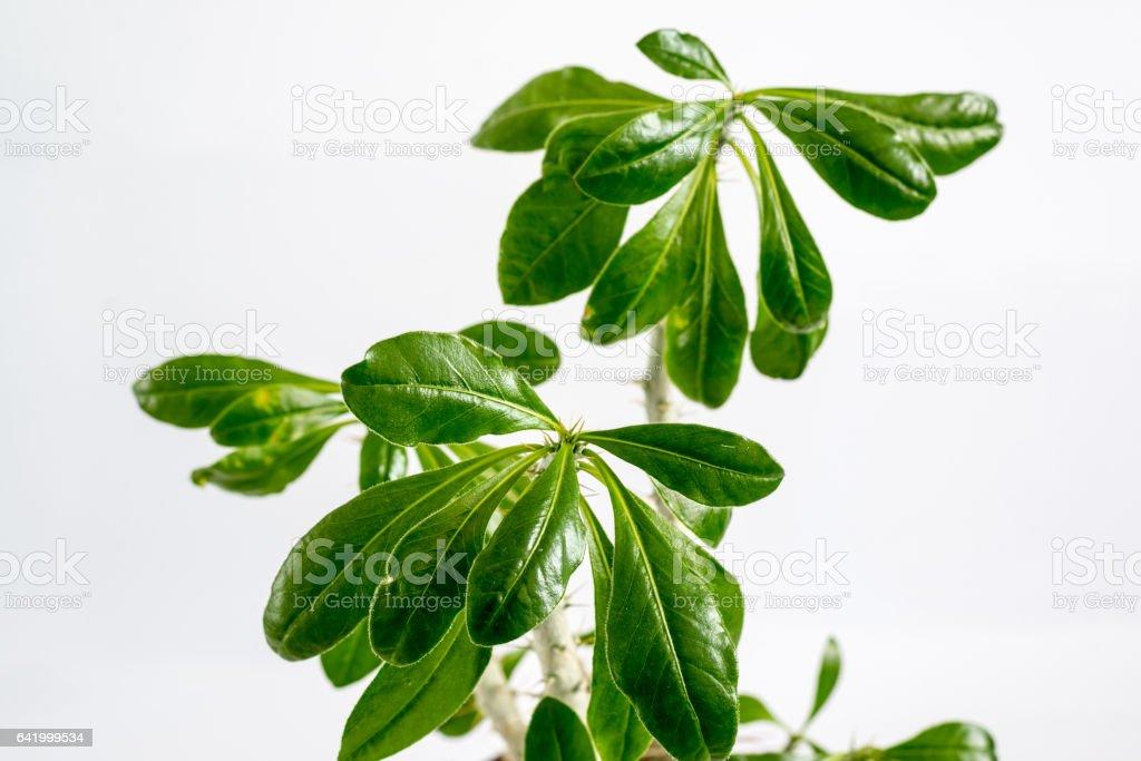 Euphorbia room in  pot on  light backgrou stock photo