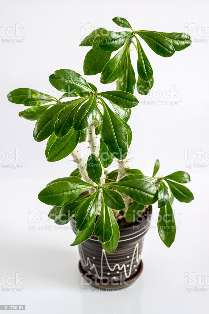 Euphorbia room in  pot on  light background stock photo