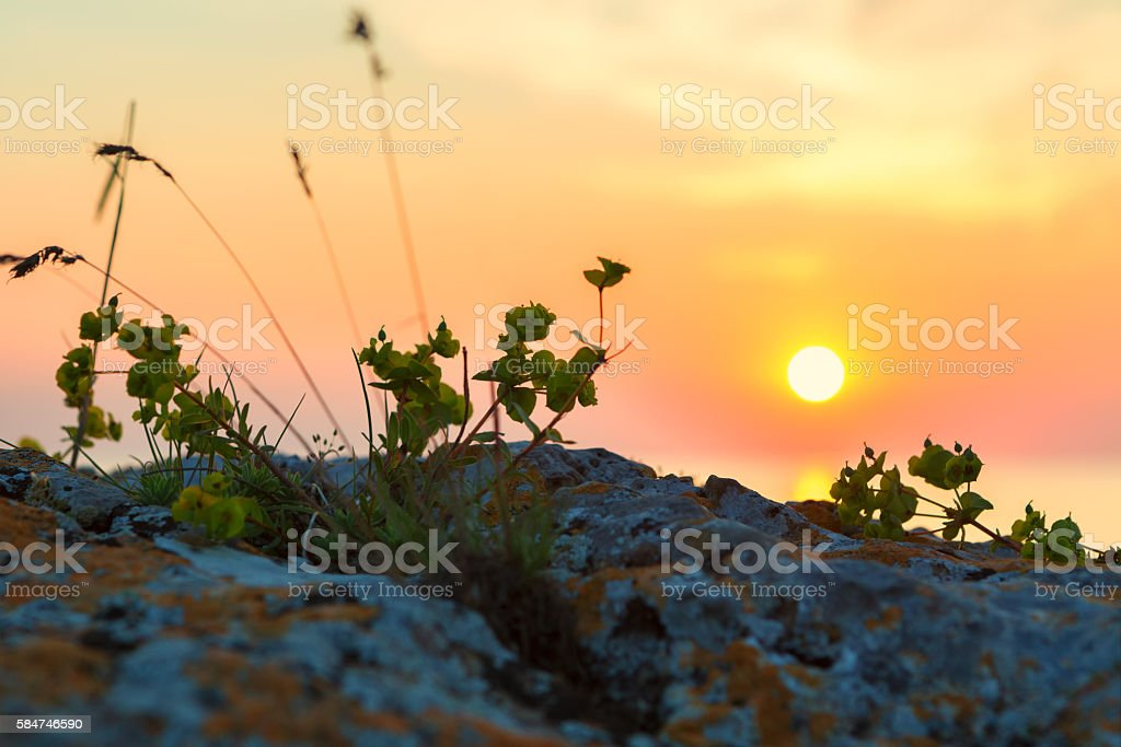 Euphorbia serrata against the background of rising sun. stock photo