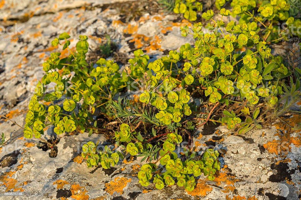 Euphorbia serrata. Crimea. stock photo