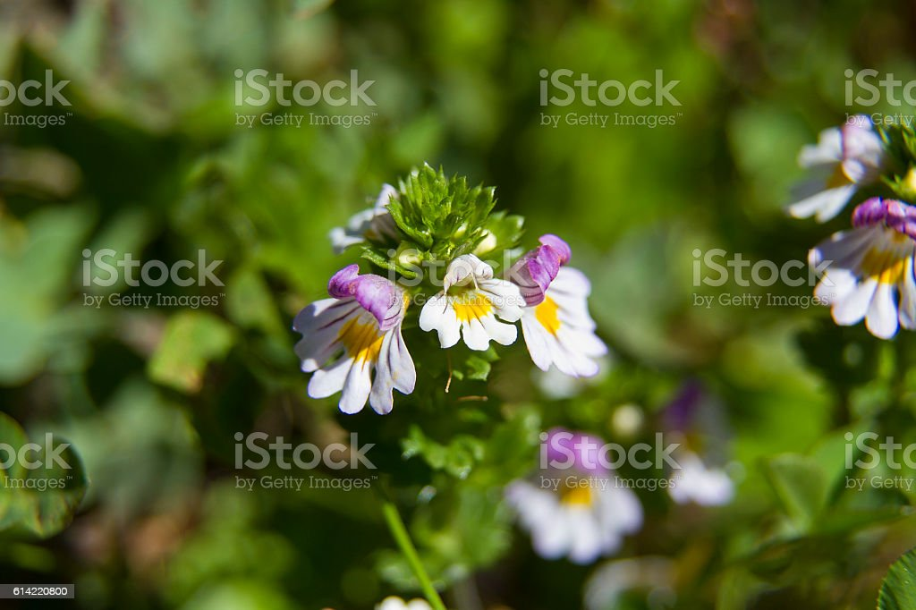 Euphrasia rostkoviana - plant in high mountains stock photo