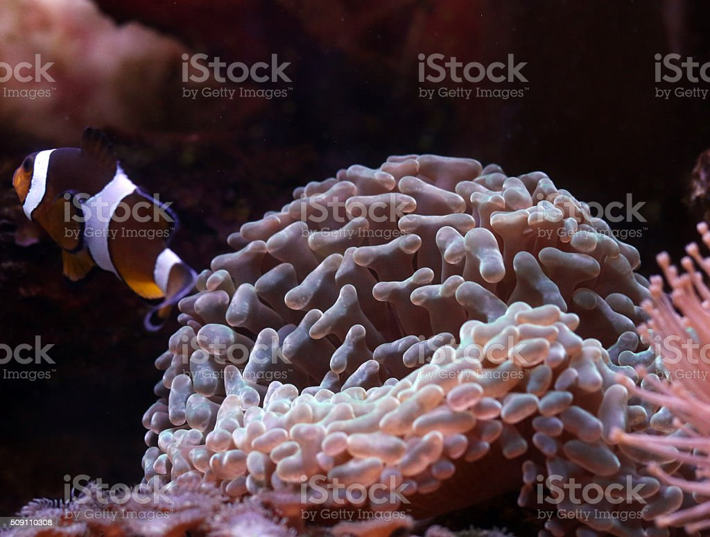 Euphyllia coral stock photo