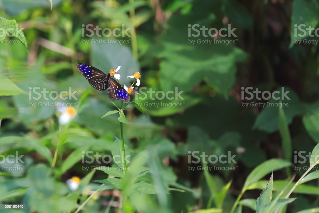Euploea mulciber-striped blue crow butterfly. Sop Chem-Luang Prabang province-Laos. 3917 stock photo