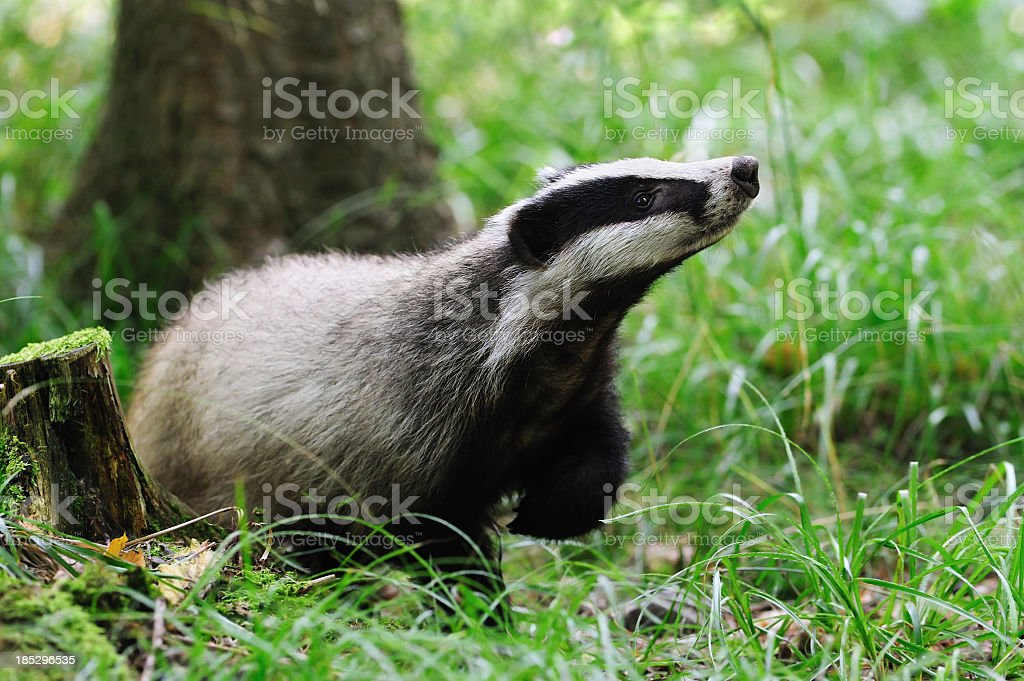 Eurasian badger alone in field stock photo