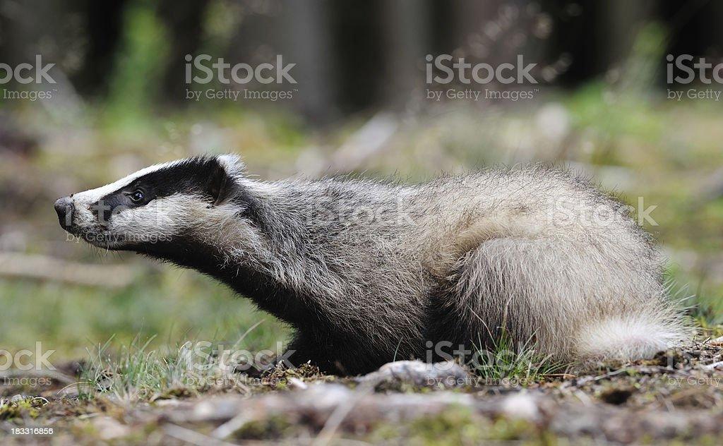 Eurasian Badger (Meles_meles) royalty-free stock photo