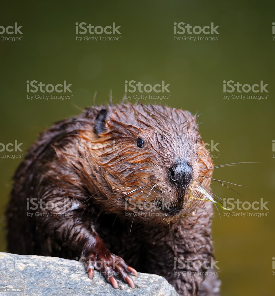 eurasian beaver stock photo