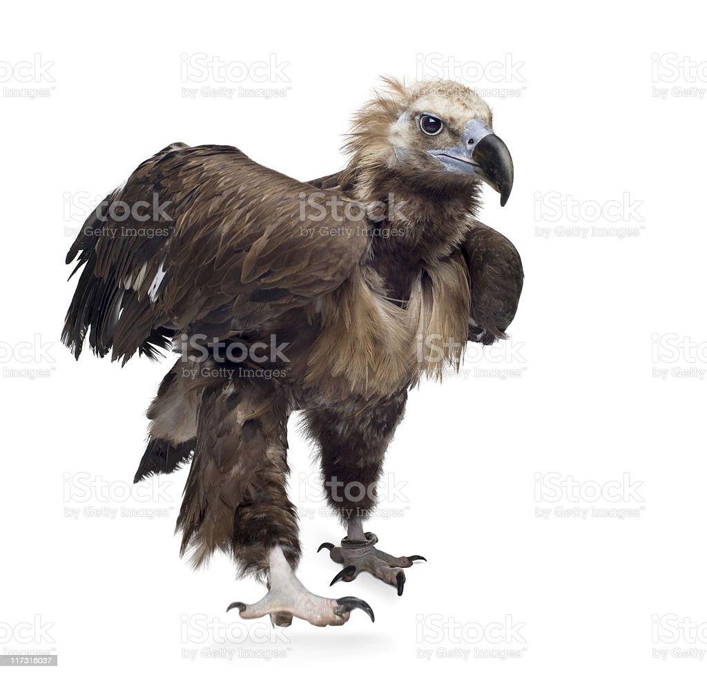 Eurasian Black Vulture (42 years) -  Aegypius monachus stock photo