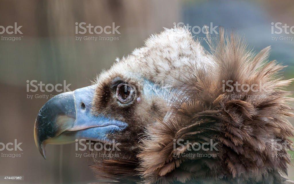 Eurasian black vulture stock photo