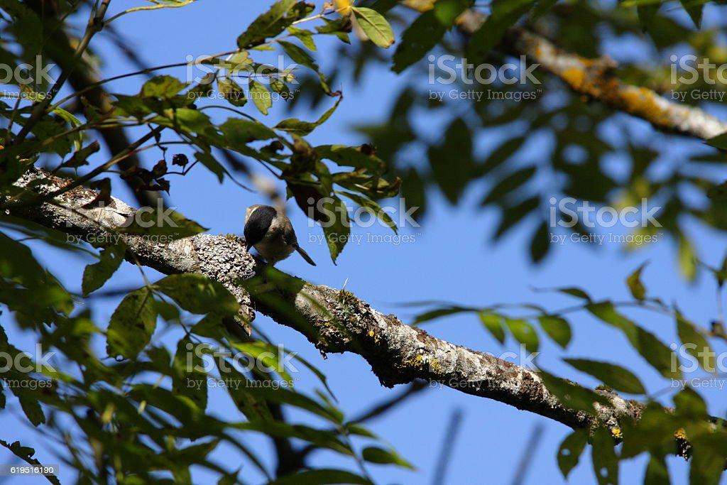 Eurasian blackcap (Sylvia atricapilla) stock photo