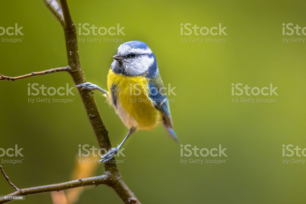 Eurasian blue tit clamped stock photo