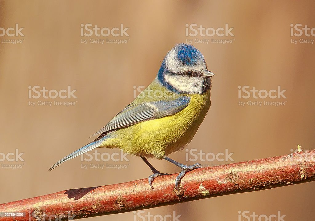 Eurasian blue tit perched stock photo