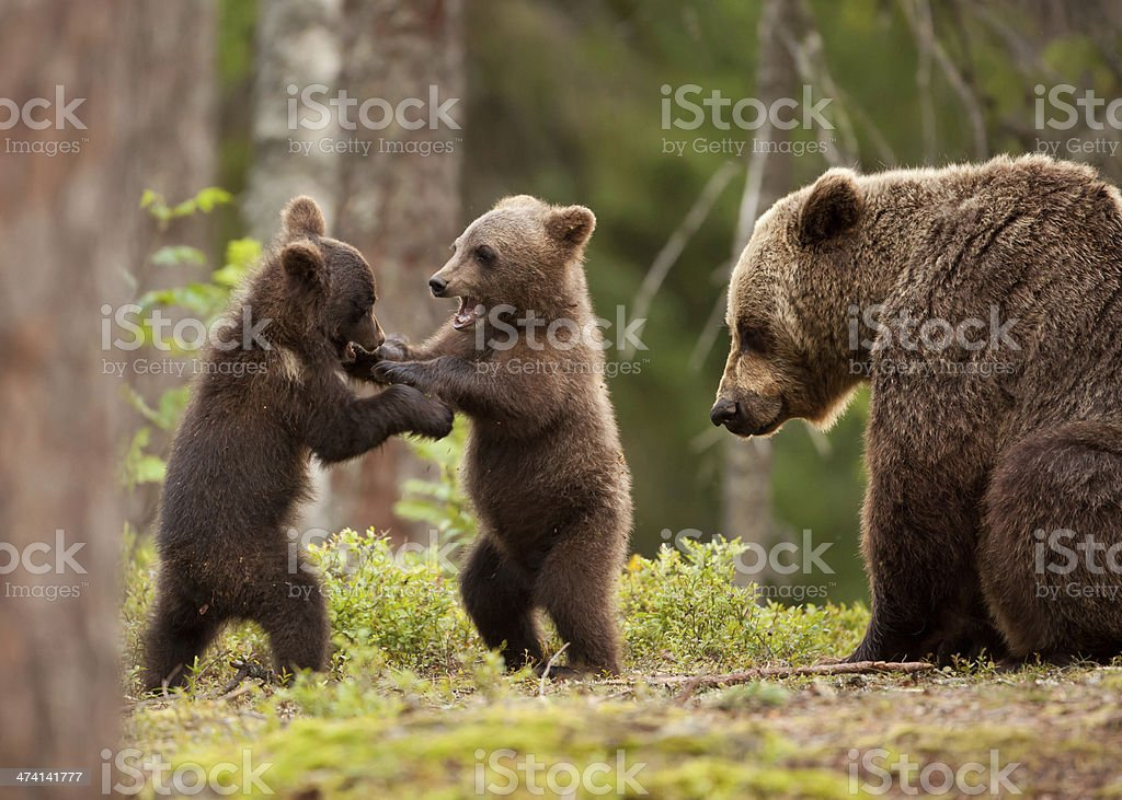 Eurasian brown bear (Ursos arctos) stock photo