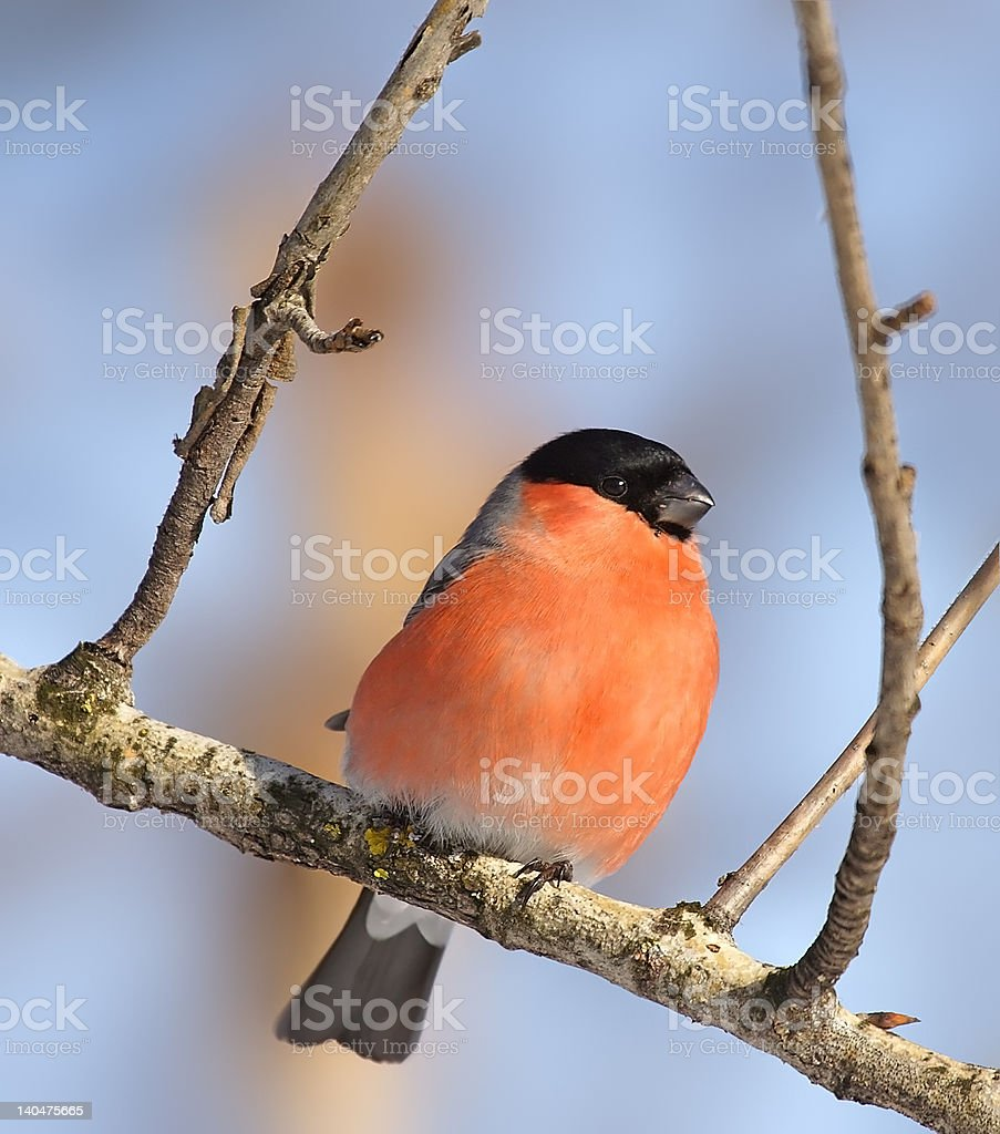Eurasian Bullfinch ( Pyrrhula ) royalty-free stock photo