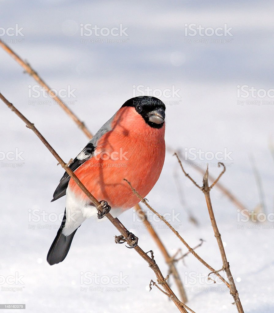 Eurasian Bullfinch royalty-free stock photo