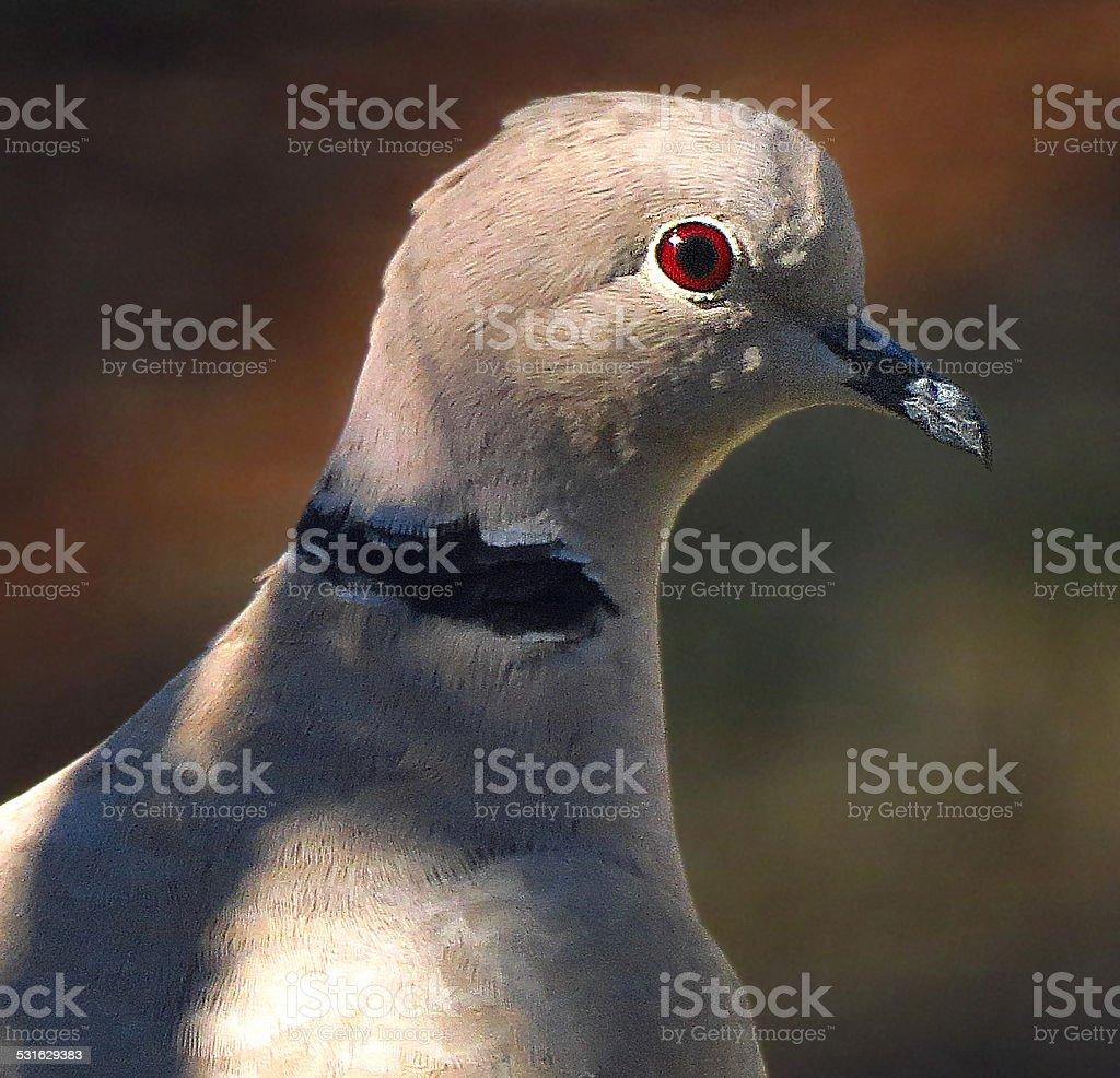 Eurasian Collared Dove royalty-free stock photo