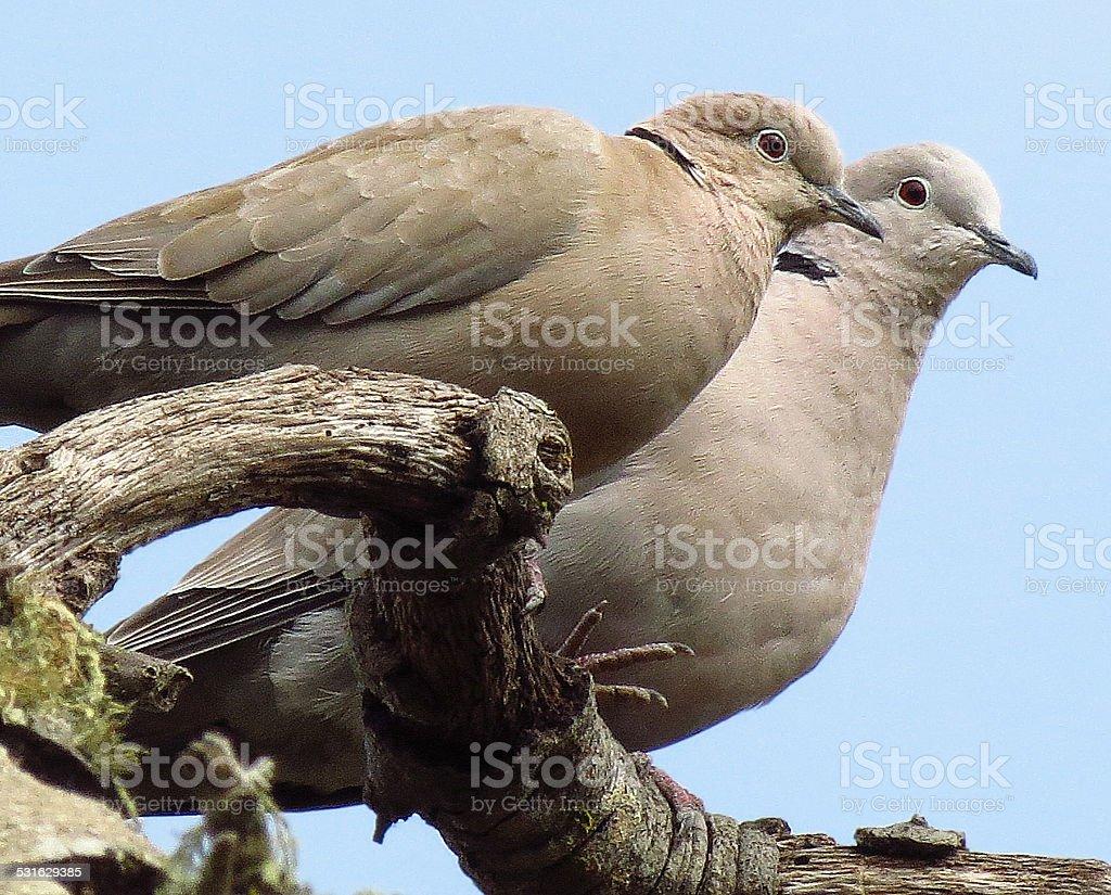 Eurasian Collared Doves royalty-free stock photo