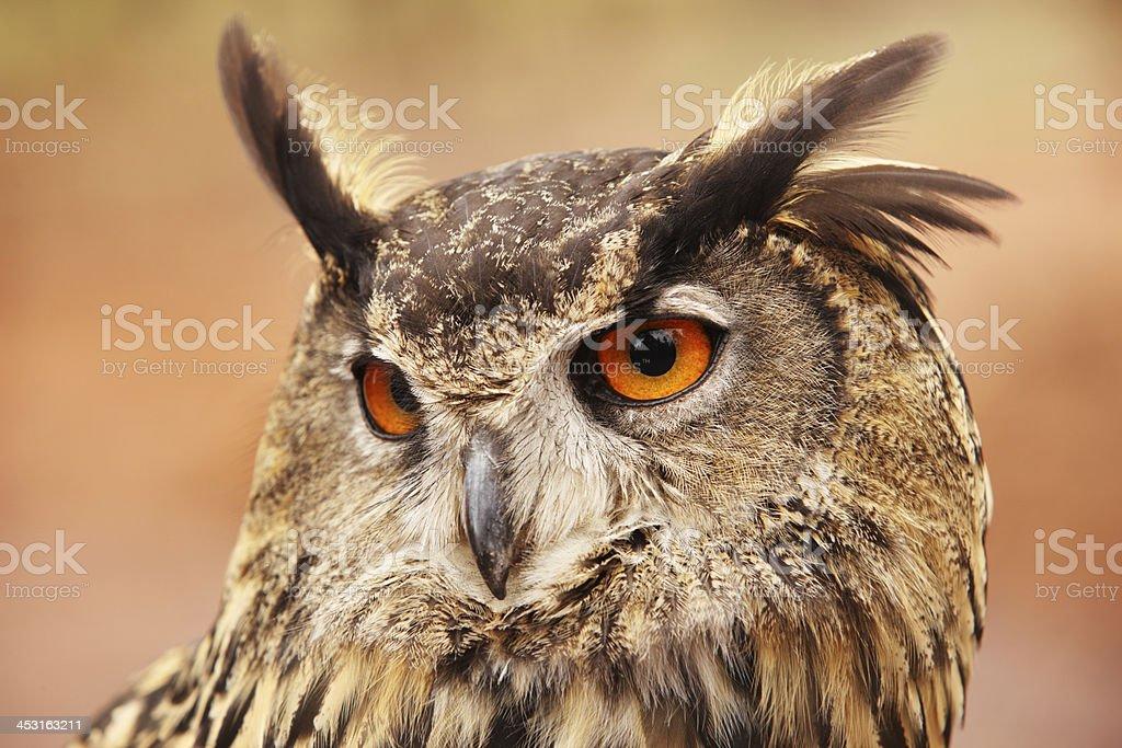 Eurasian Eagle Owl Bubo Bird royalty-free stock photo