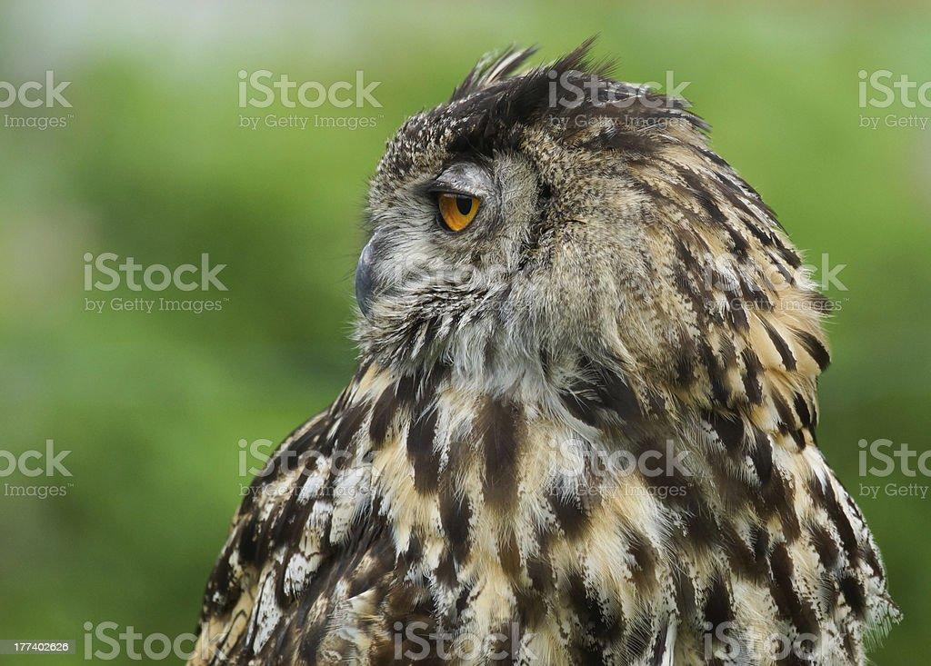 Eurasian Eagle Owl / Bubo stock photo