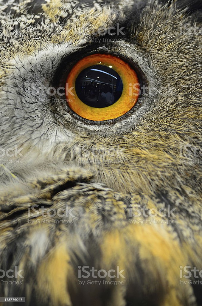Eurasian Eagle Owl royalty-free stock photo