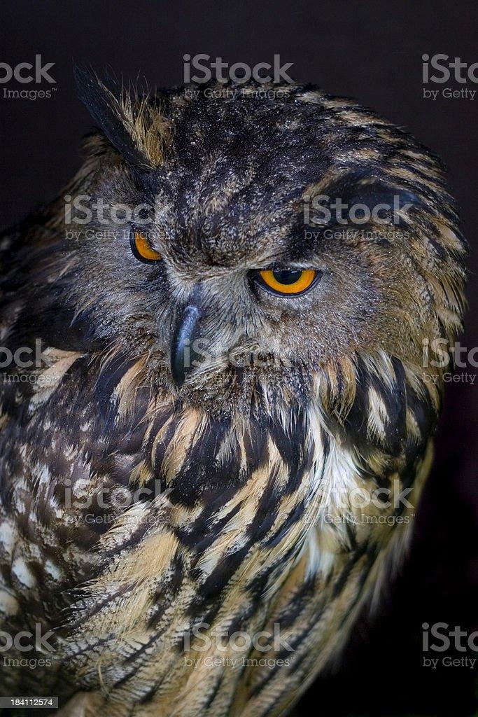 Eurasian Eagle Owl royalty-free stock photo