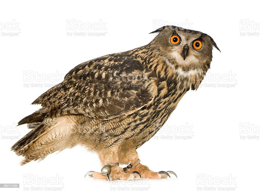 Eurasian Eagle Owl (22 months) royalty-free stock photo