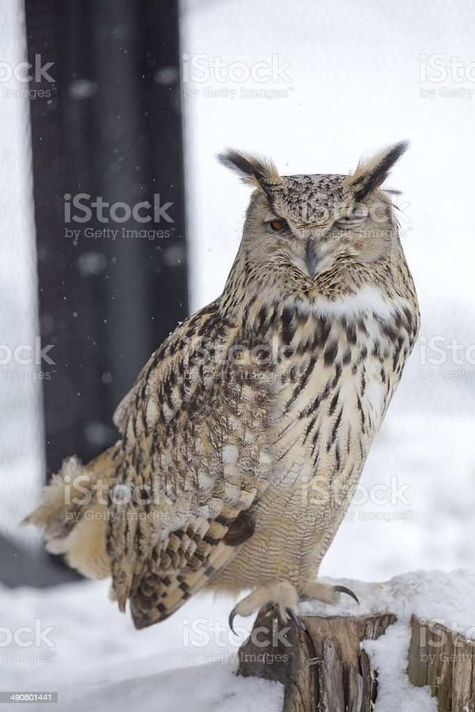 Eurasian Eagle Owl winking an eyes stock photo