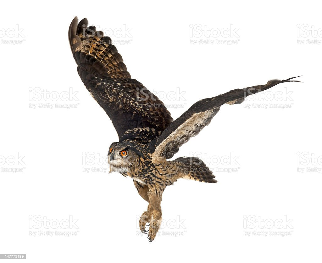Eurasian Eagle-Owl, 15 years old, flying against white background stock photo