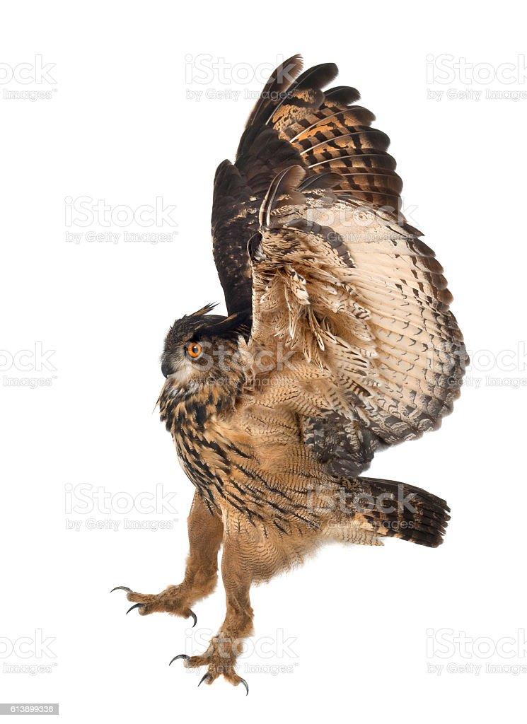Eurasian Eagle-Owl, Bubo bubo, 15 years old, flying stock photo