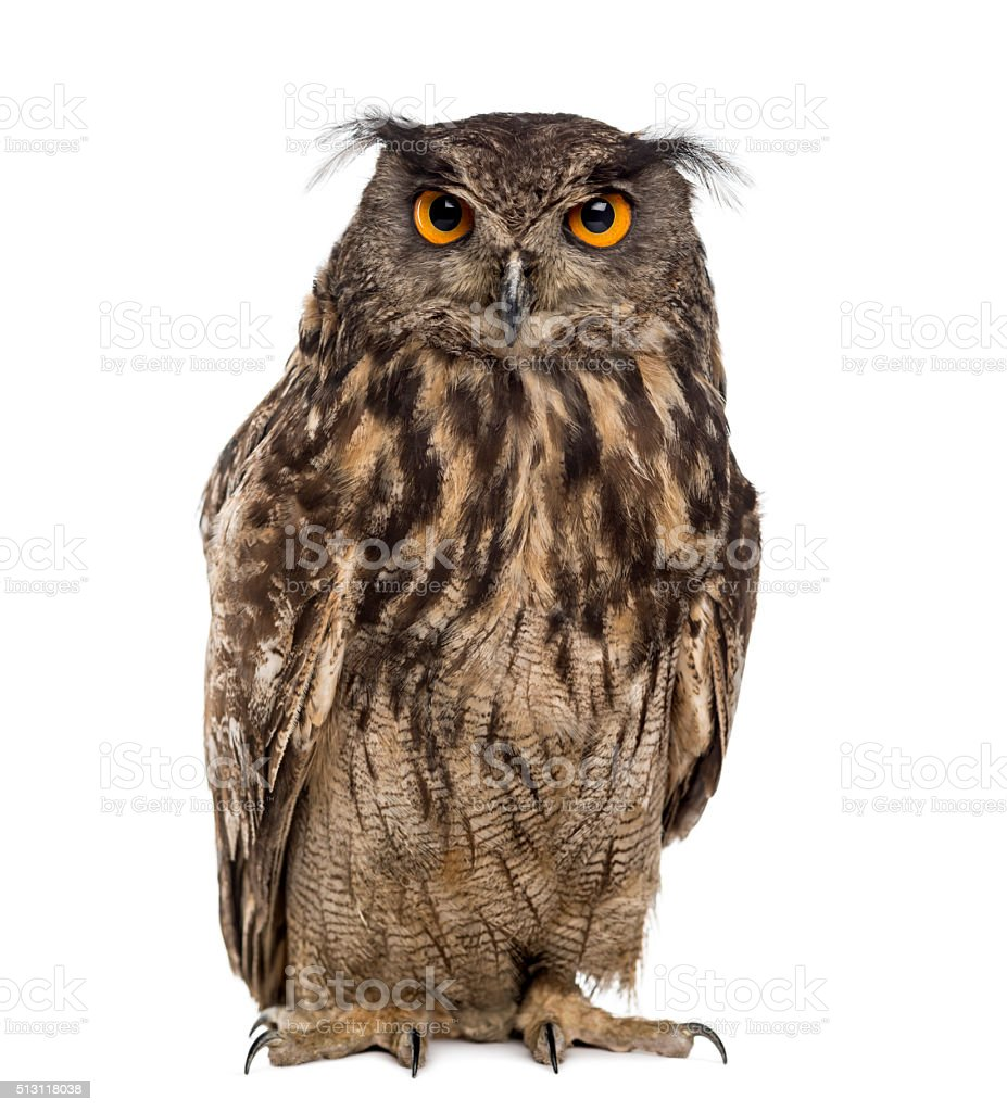 Eurasian eagle-owl (Bubo bubo) in front of a white background stock photo