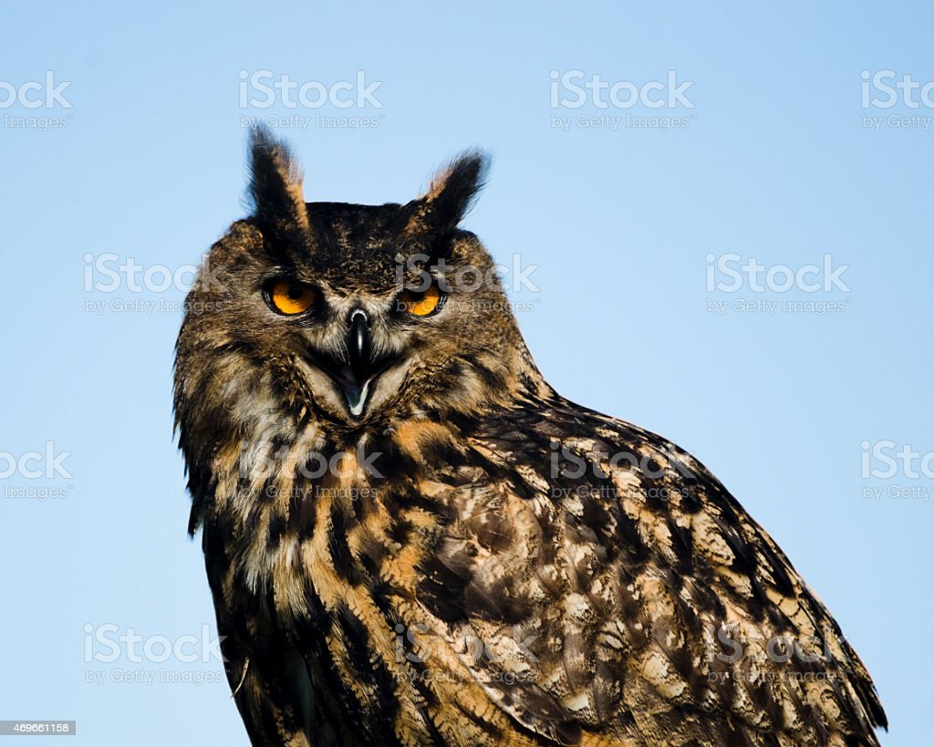 Eurasian Eagle-Owl Looking At Camera And Squaking stock photo