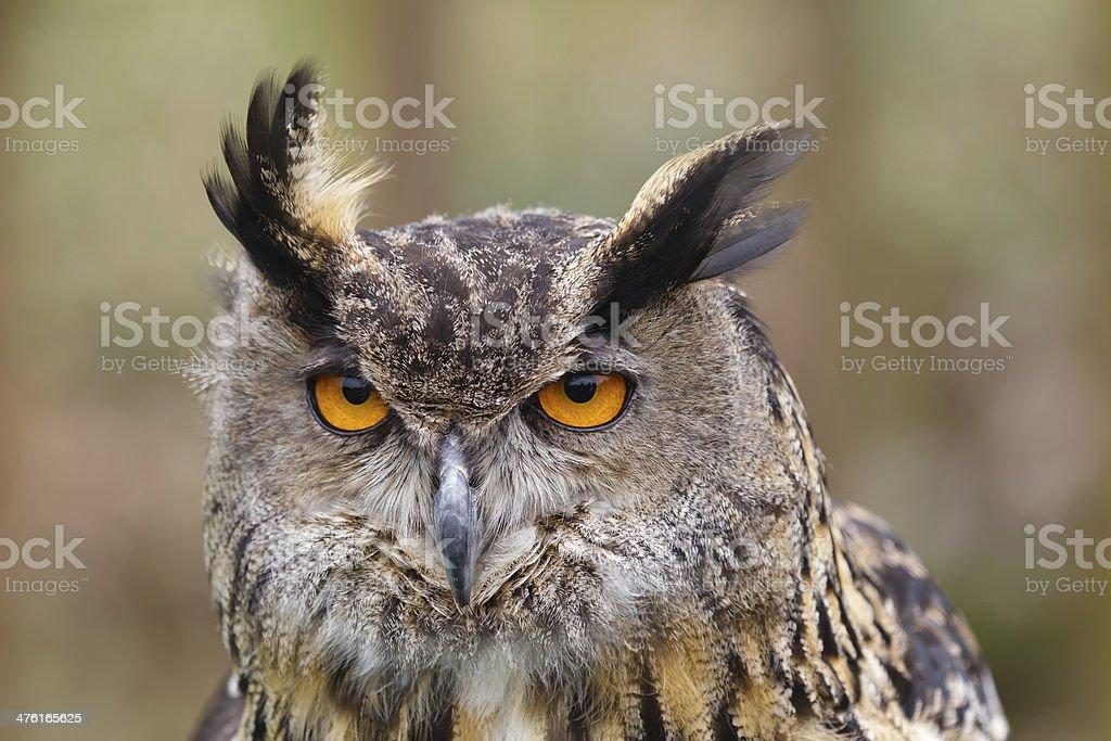 Eurasian Eagle-Owl stock photo