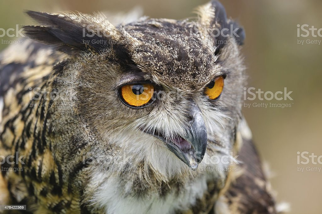 Eurasian Eagle-Owl royalty-free stock photo