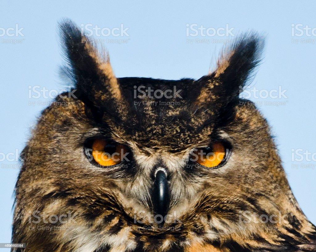 Eurasian Eagle-owl With Bright Yellow Eyes stock photo