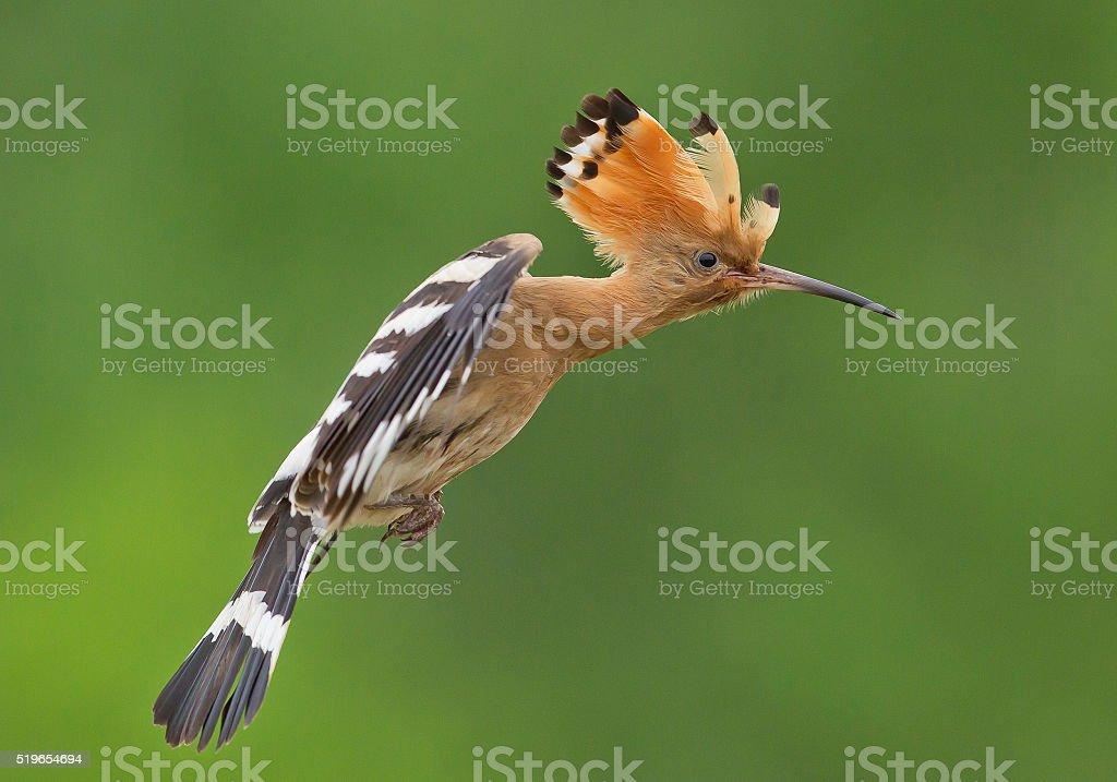 Eurasian hoopoe in flight stock photo