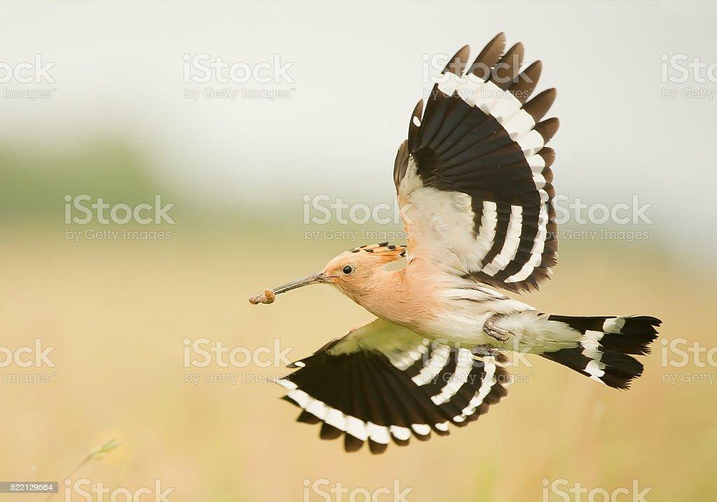 Eurasian hoopoe in flight, stock photo