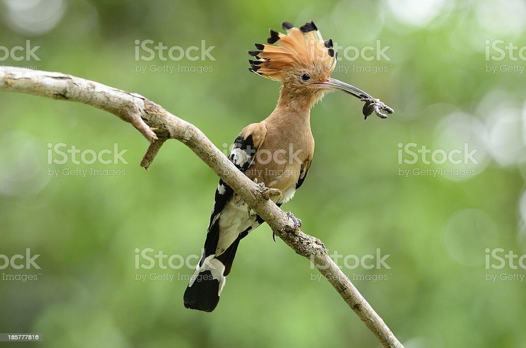 eurasian hoopoe (Upupa epops) stock photo