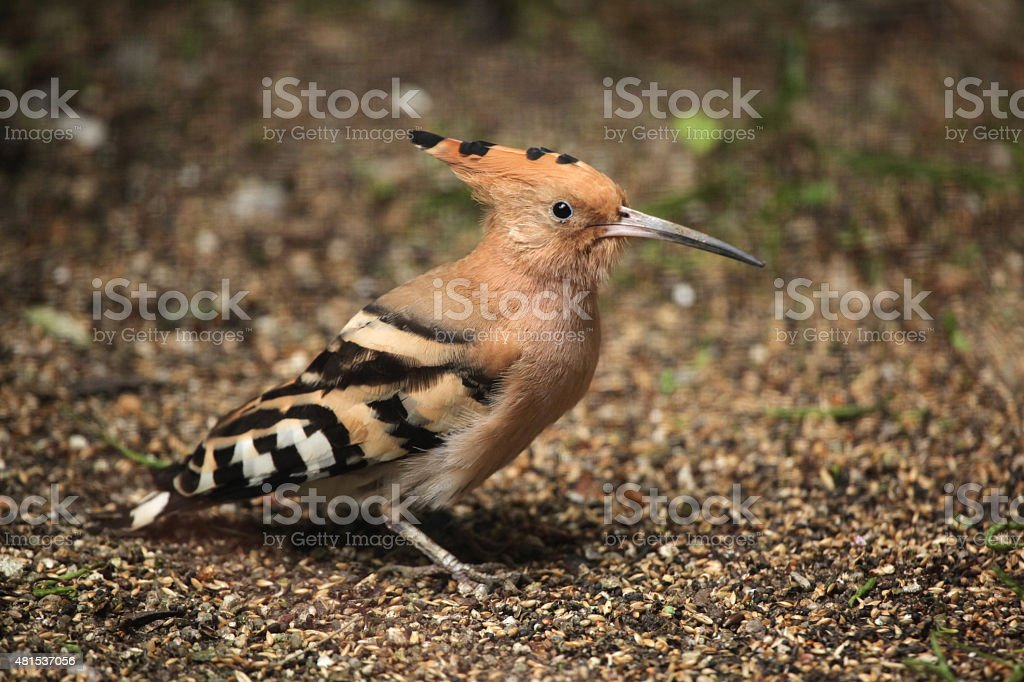 Eurasian hoopoe (Upupa epops). stock photo
